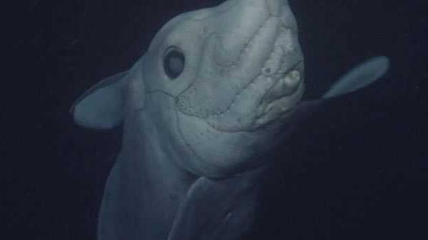 Kimsenin canlı göremediği köpek balığı ilk kez görüntülendi
