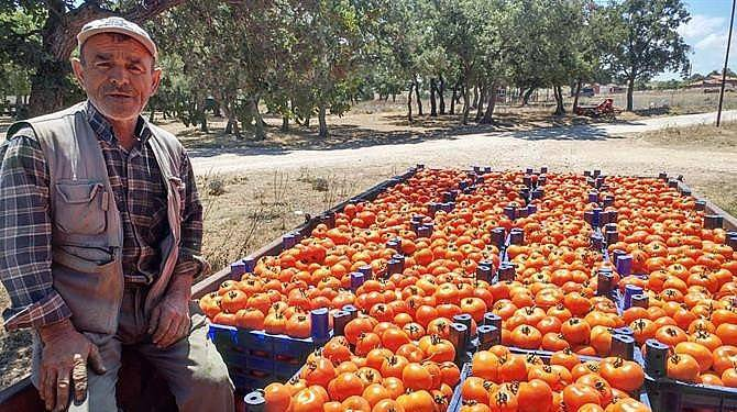 Çanakkale domatesinin hasadı başladı