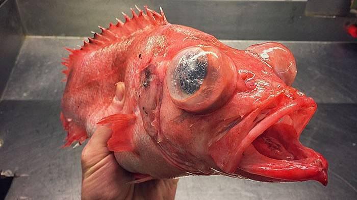 Bu balıkları ilk kez göreceksiniz