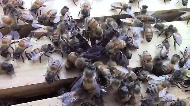 Örümcek arı kovanına saldırınca...