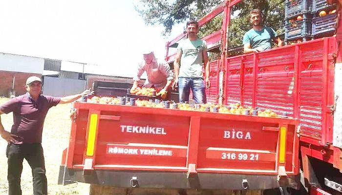 BİGA'DA DOMATES HASADI BAŞLADI