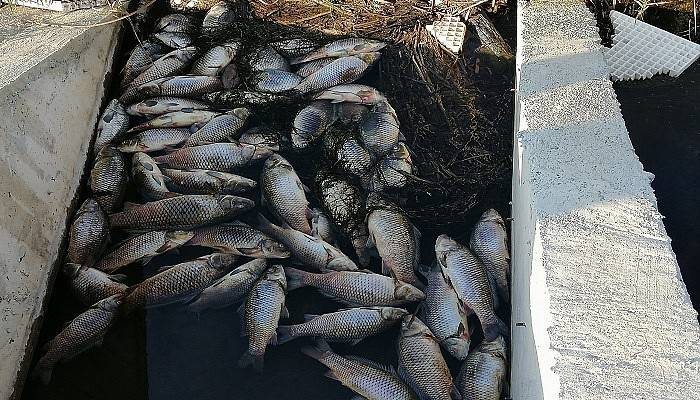 Çaydaki balık ölümleri köylüleri tedirgin etti (VİDEO)