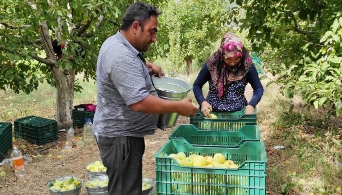 Bayramiç'te elma hasadı başladı