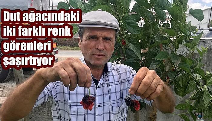 3 yıldır düzenli meyve veren dut ağacı bu yıl farklı renk ve tatlarla 2 çeşit vermeye başladı (VİDEO)