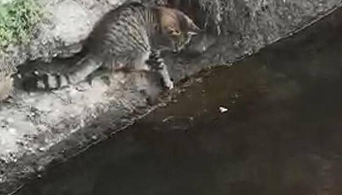 Kedinin balığı avlama anı kamerada (VİDEO)