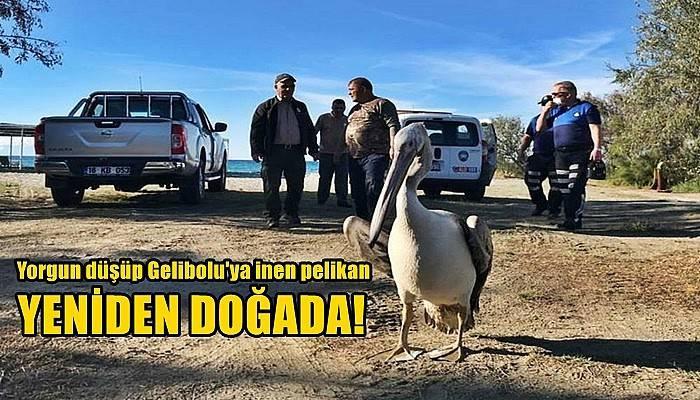 Yorgun düşüp Gelibolu'ya inen pelikan, yeniden doğal ortamına salındı