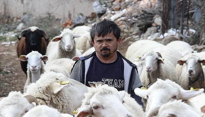 Boyundan büyük koyunlara çobanlık yapıyor (VİDEO)