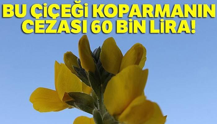 Bu çiçeği koparmanın cezası 60 bin lira