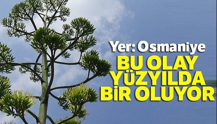 Osmaniye'de gerçekleşti: Yüzyıl bitkisi çiçek açtı