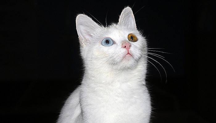 Her aileye bir Van kedisi