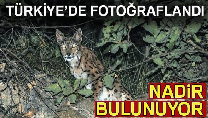 Tunceli'de vaşak fotoğraflandı