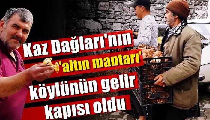 Kaz Dağları'nın 'altın mantarı' köylünün gelir kapısı oldu (VİDEO)