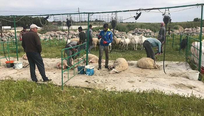 Koyun kırpma şenliği