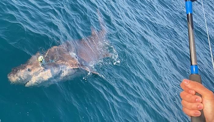 Oltaya 4 metre uzunluğunda köpek balığı takıldı