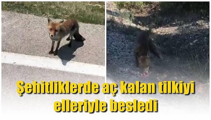 Şehitliklerde aç kalan tilkiyi elleriyle besledi (VİDEO)