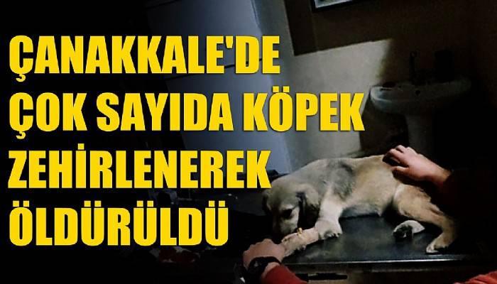 Çanakkale'de çok sayıda köpek zehirlenerek öldürüldü (VİDEO)