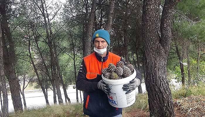 Kaz Dağları'ndaki çam fıstıkları geçim kaynağı oldu(VİDEO)