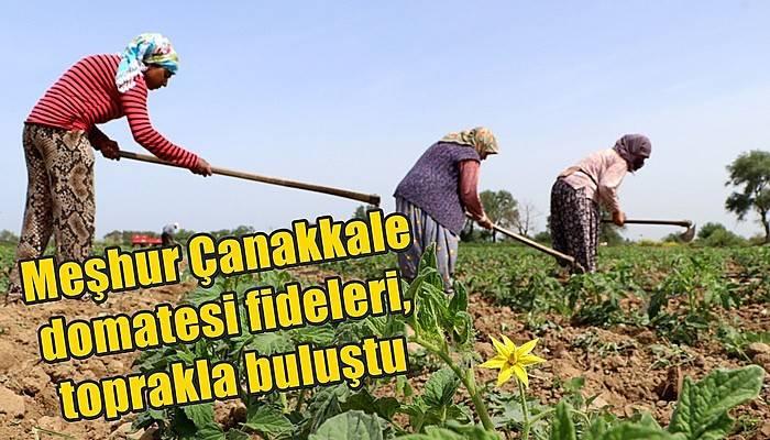 Meşhur Çanakkale domatesi fideleri, toprakla buluştu (VİDEO)