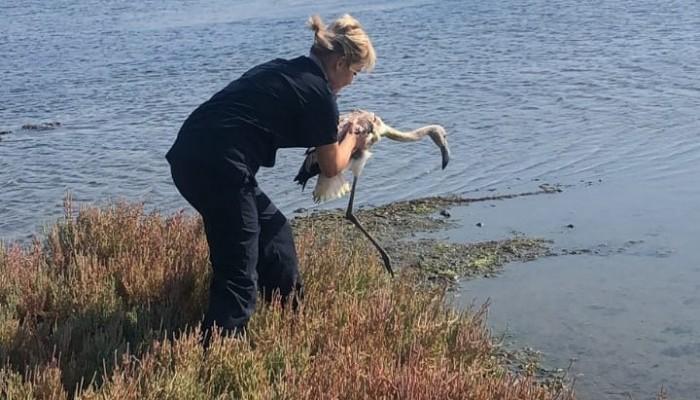 Bitkin bulunan yavru flamingo, bakım sonrası doğaya salındı
