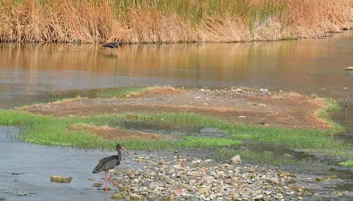 Nadir görülen kara leylekler Tuzla Çayı'nda fotoğraflandı