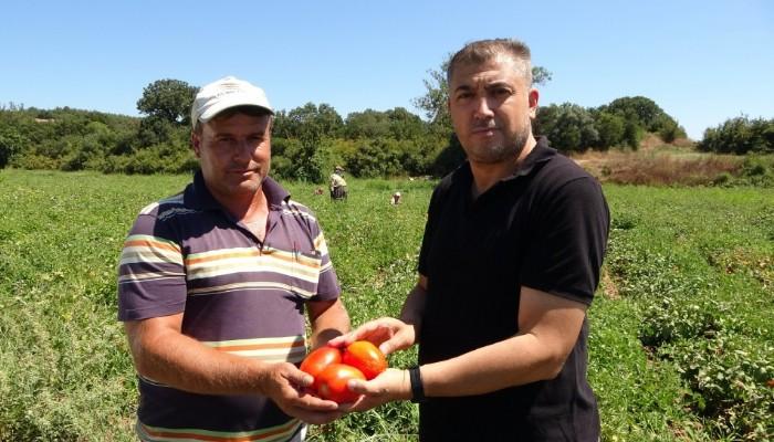 Çanakkale'de domates hasadı sancılı başladı: Tarlada ucuz, zincir marketlerde 10 katına satılıyor (VİDEO)