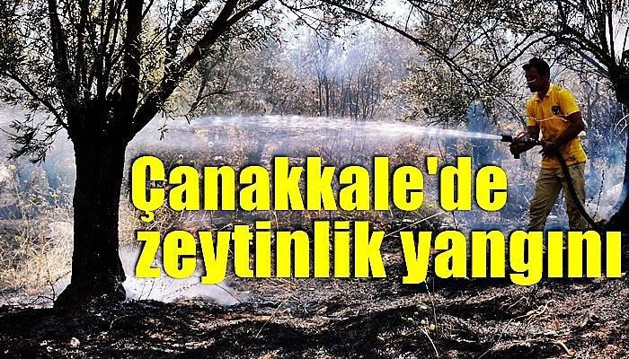 Çanakkale'de zeytinlik yangını (VİDEO)