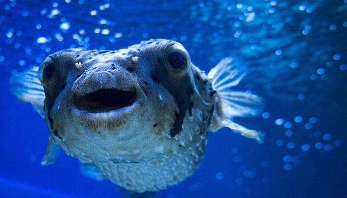 Balon balığı avcılığının desteklenmesi kararı!