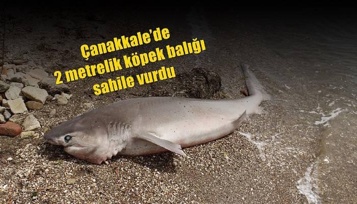 Çanakkale'de 2 metrelik köpek balığı sahile vurdu (VİDEO)