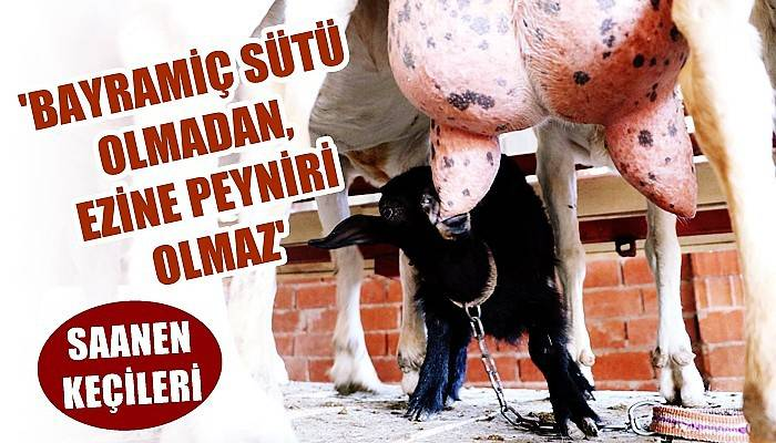 Süt verimi yılda bin litreyi bulanSaanen cinsi keçiler, yetiştiricinin gözdesi