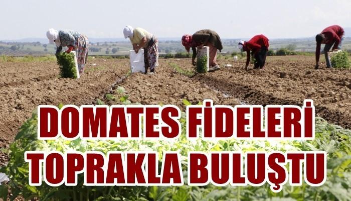 Meşhur Çanakkale domatesinin fideleri toprakla buluştu (VİDEO)