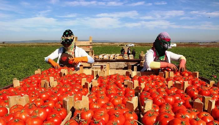 Meşhur Çanakkale domatesi 10 günde 3 kat zamlandı(VİDEO)