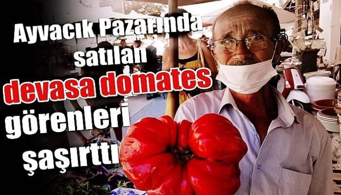 Çanakkale'de yetişen 1 kilo 120 gramlık domates büyüklüğüyle şaşırttı (VİDEO)