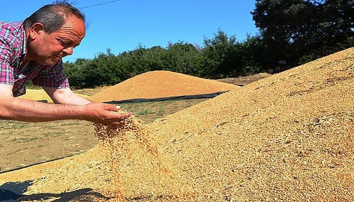 Lapseki'de buğday alımları başladı (VİDEO)