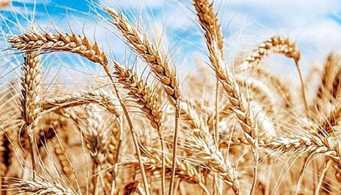 Buğday Dış Ticaretiyle Ülke Ekonomisine 12,5 Milyar Dolar Gelir