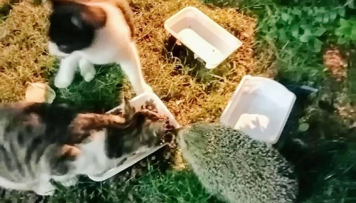 Kirpi, kedilerle arkadaş oldu