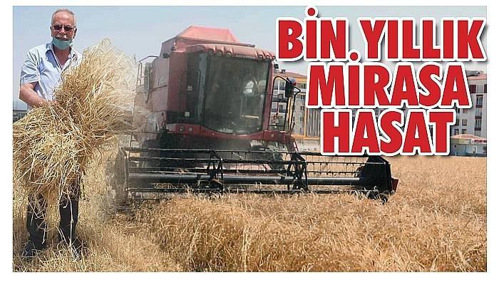 Belediye 'Karakılçık' buğdayını şenlikle hasat etti