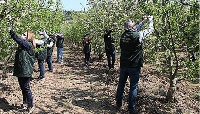 Çanakkale'de elma kurduna karşı mücadele