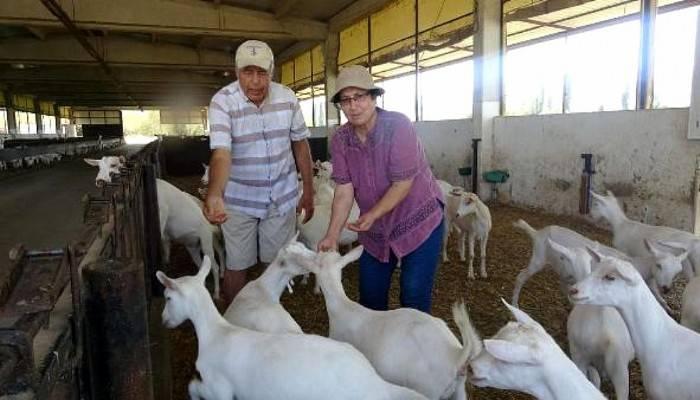 Çanakkale'deki Saanen Keçilerinden Etkilendi, Aydın'da çiftlik kurdu