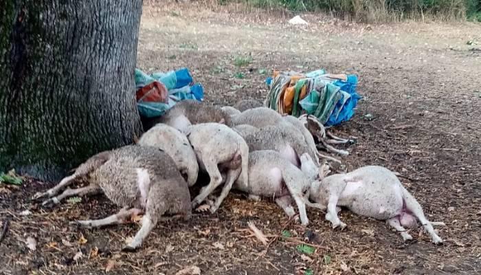 Biga'da yıldırımın düştü; ağaç altındaki 13 koyun öldü