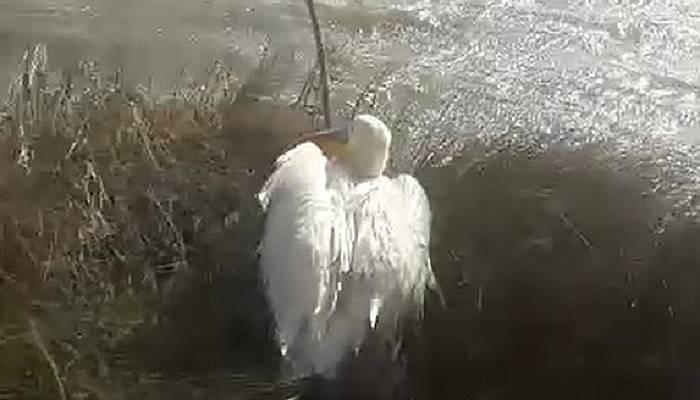 Yorgun pelikan, bakım sonrası doğaya salındı