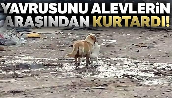Anne köpek yavrusunu alevlerin arasından kurtardı