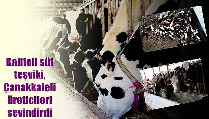 Kaliteli süt teşviki, Çanakkaleli üreticileri sevindirdi (VİDEO)