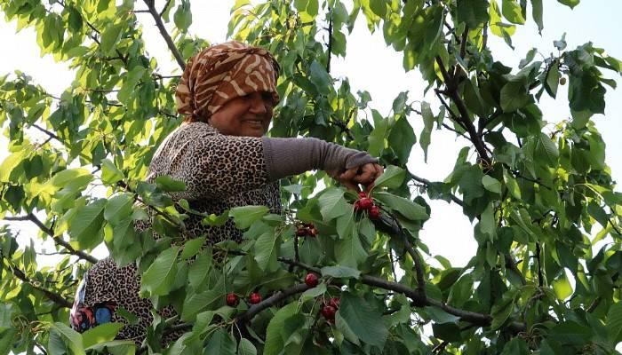 Bayramı kiraz bahçelerinde hasat yaparak geçirdiler (VİDEO)