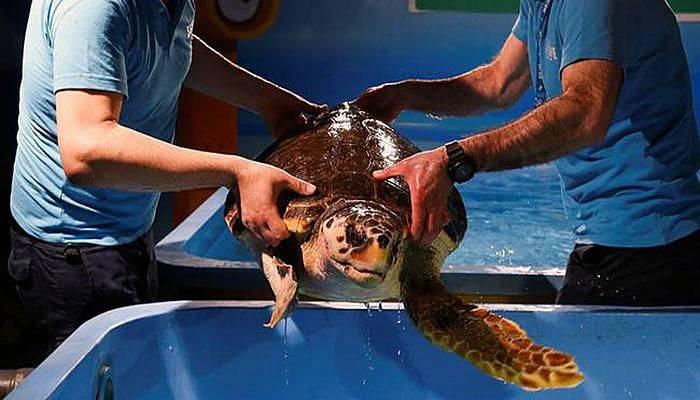 Kaplumbağa Dilek Çanakkale'de denize kavuşacak