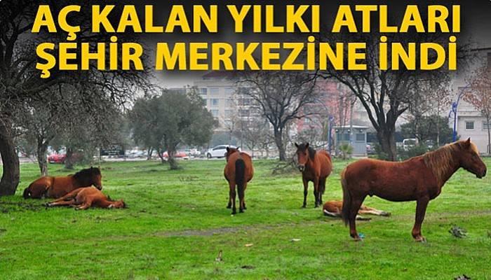 Aç kalan yılkı atları, şehir merkezine indi (VİDEO)