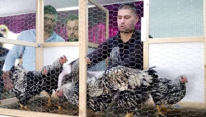 Lapseki'de geleneksel 3. tavuk mezadı yapıldı