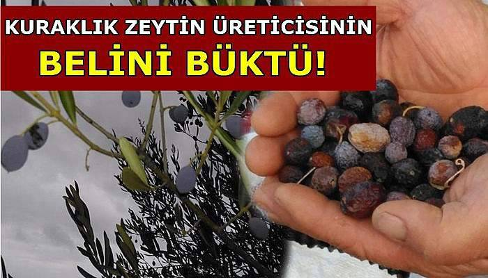 Kuraklık, zeytin üreticisinin belini büktü