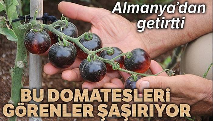 Bu domatesleri görenler şaşırıyor