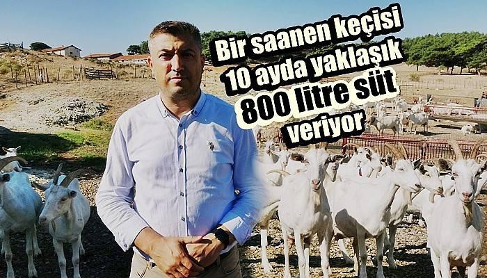 Saanen keçileri hem ormanı kurtardı hem de köylülerin gelirini arttırdı (VİDEO)