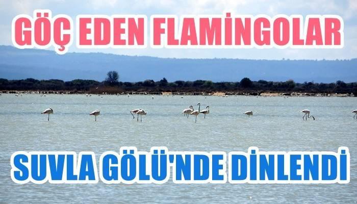 Çanakkale Savaşları'nın yaşandığı yarımada flamingoları ağırladı (VİDEO)